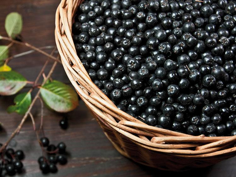 отбор ягод черноплодной рябины