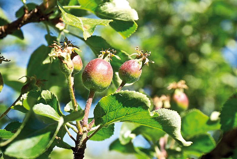 формирование винных дрожжей на ранних плодах