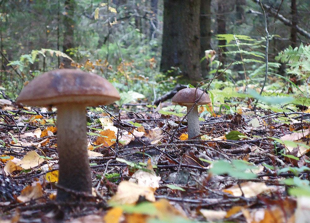 подберезовики сентябрьского леса